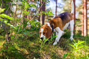 Natural Tick Prevention Remedies for Dogs