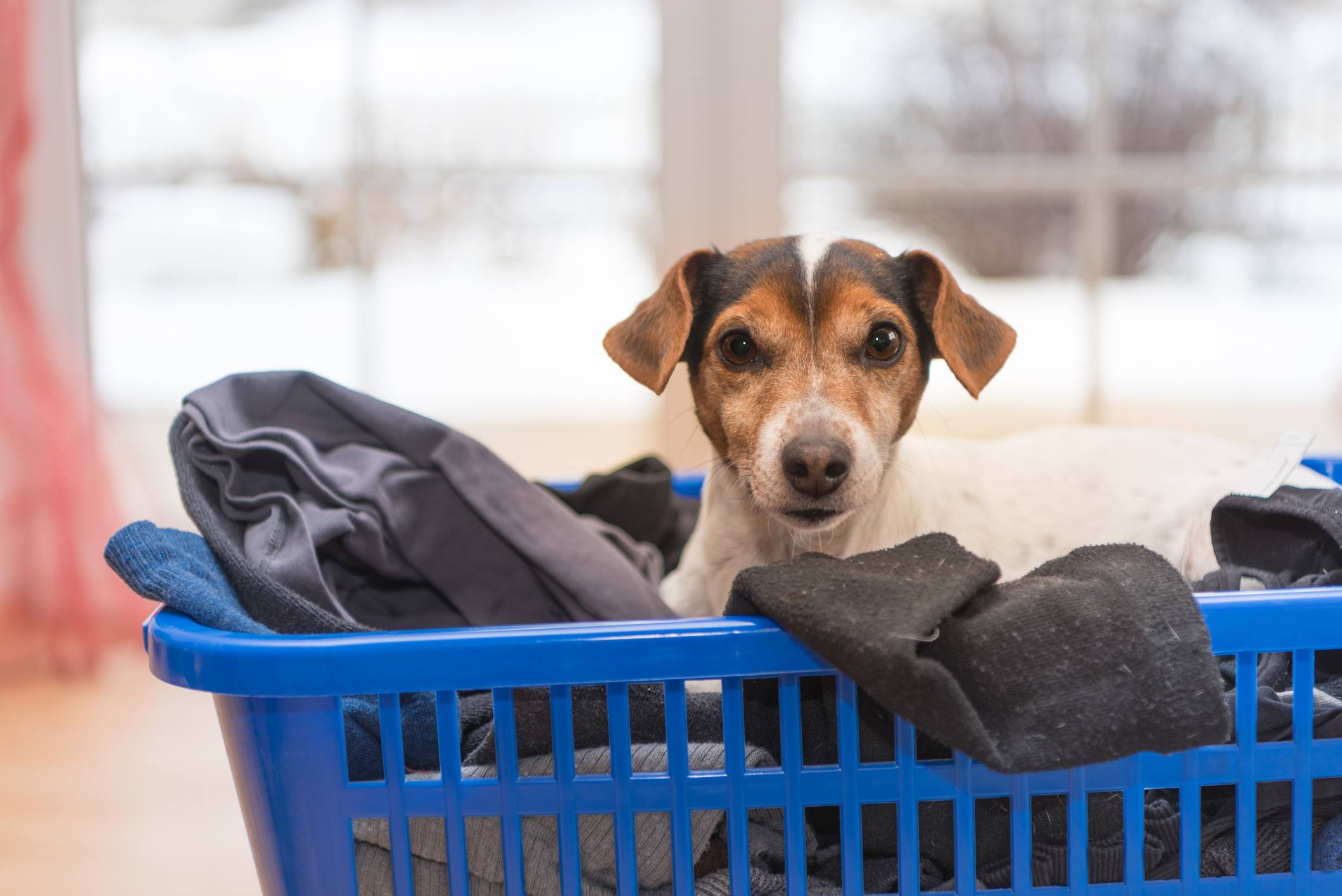 Jack Russell Terrier dog in a laundry basket full of clothes