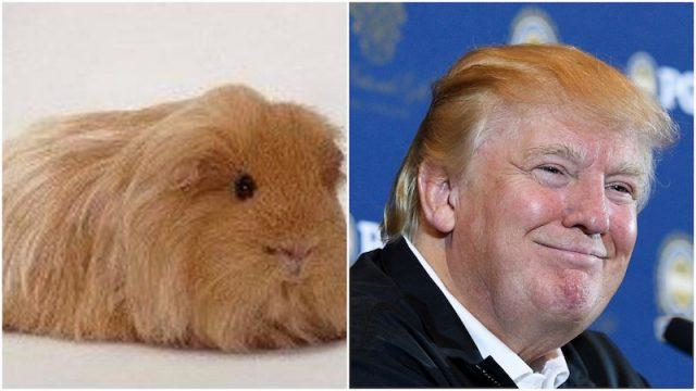 Guinea pig and Donald Trump collage.