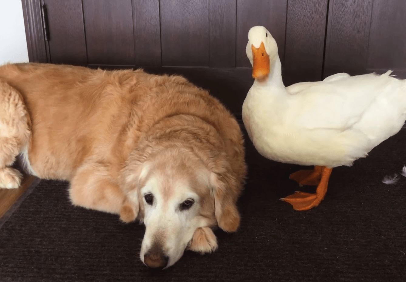 Duck and dog