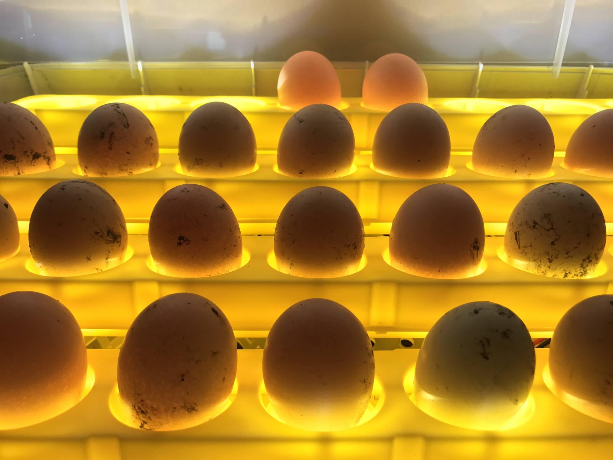 Fresh eggs in incubator