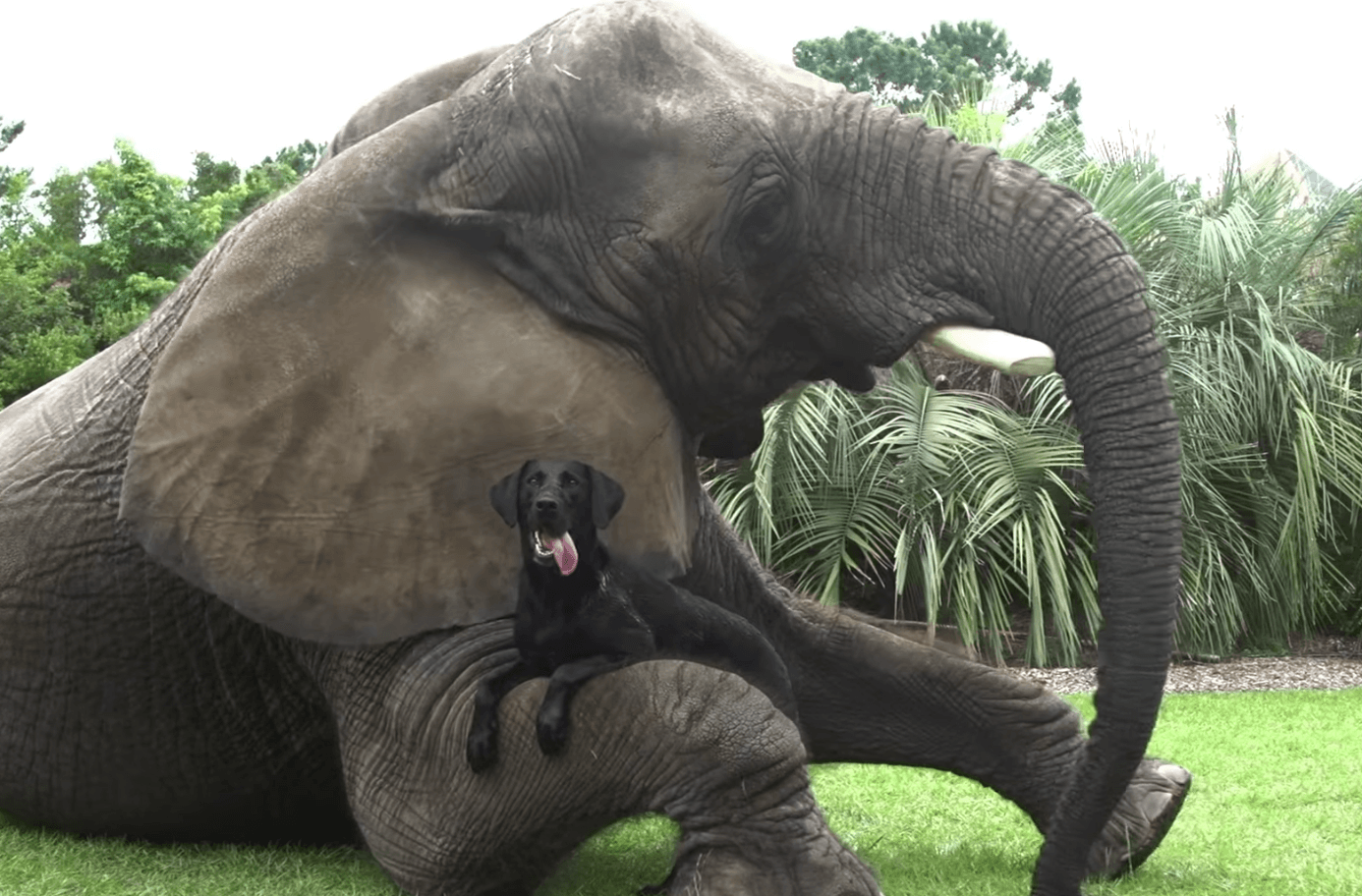 Elephant and labrador