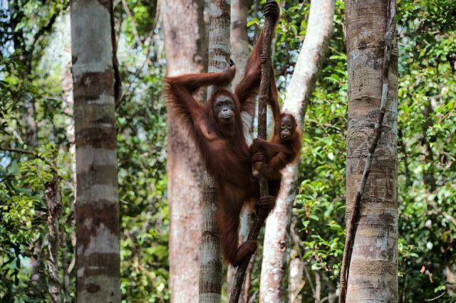 Mother and Child Orangutans on a tree.