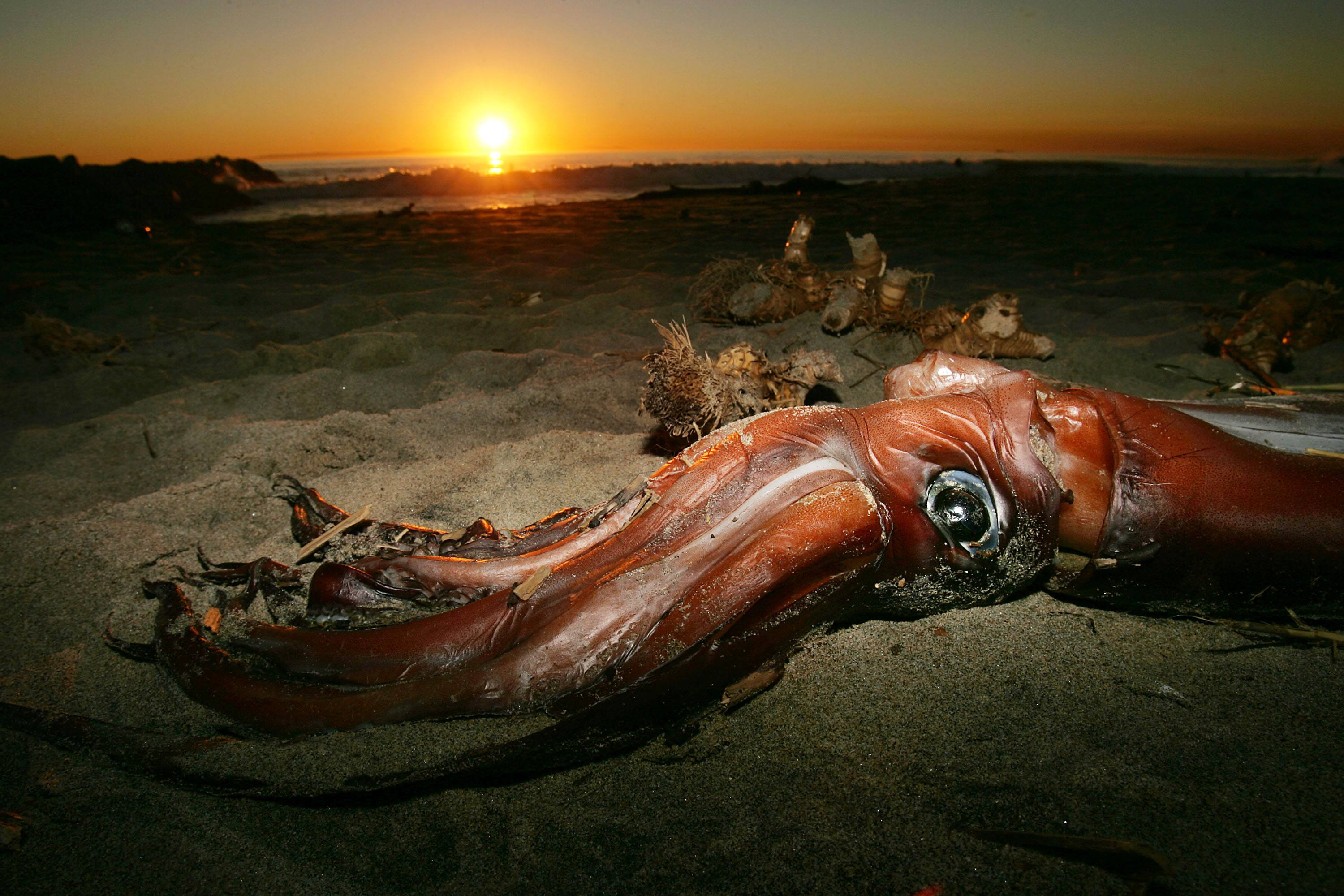 Giant Squid Mysteriously Wash Up On California Beaches