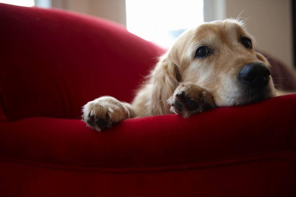 Golden retriever dog lying on sofa