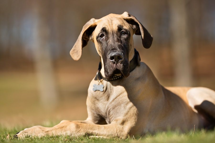 A purebred Great Dane dog