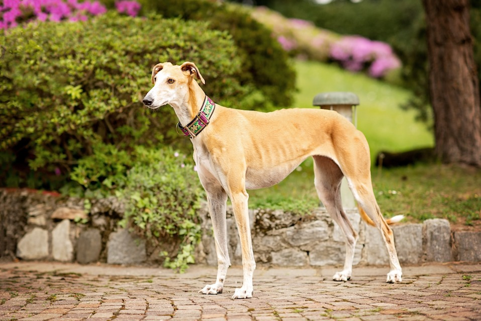 Spanish Greyhound Galgo looking around