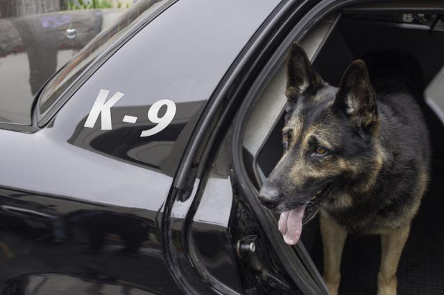 A dog from the K-9 unit inside a patrol car.