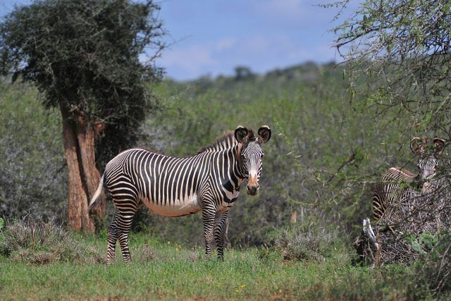 The rare Grevys's zebra at the Mpala Research Center and Wildlife Foundation