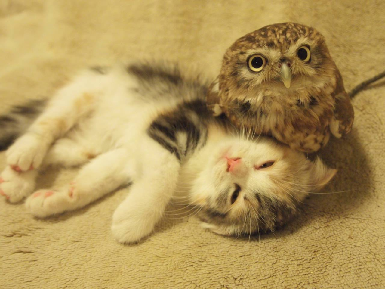 Kitten and owl hukulou coffee