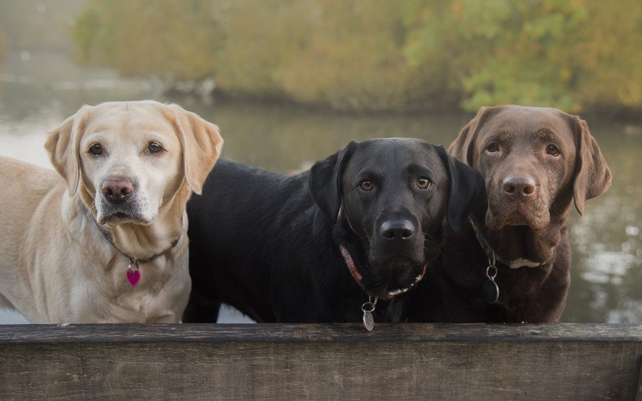 Yellow, black, and chocolate Labradors