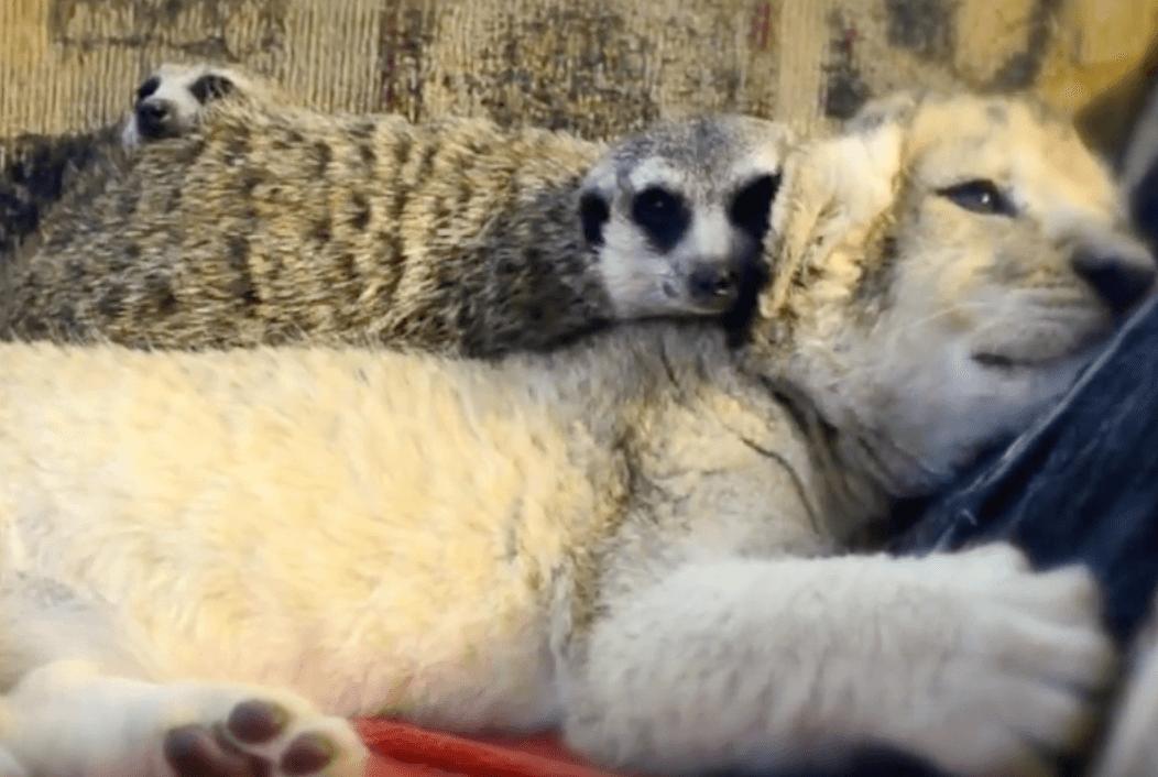 Lion and meerkats