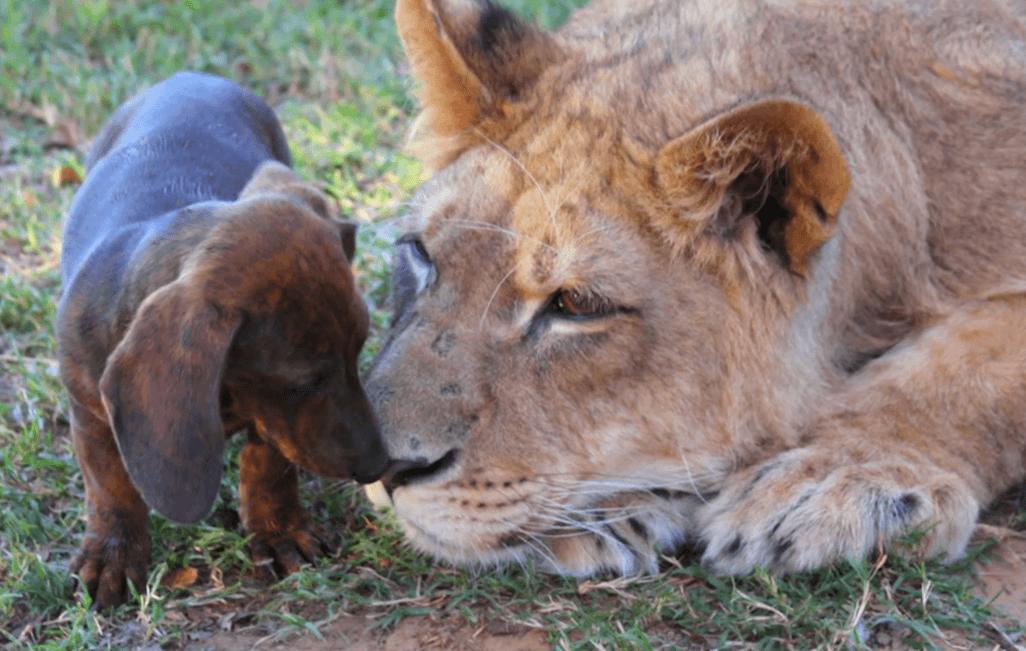Lion and weiner dog