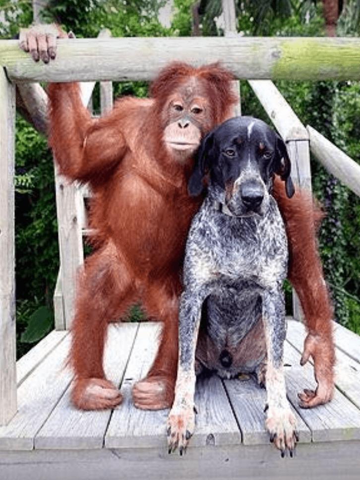 Orangutan and dog