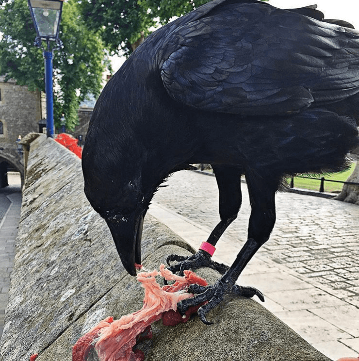 Raven eating raw meat