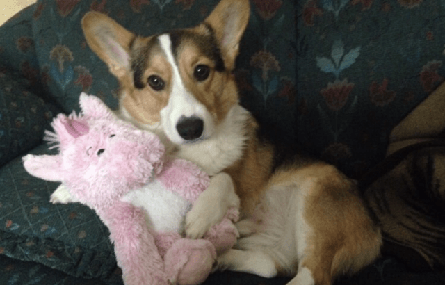 Rebecca's Corgi sitting with a stuffed animal.
