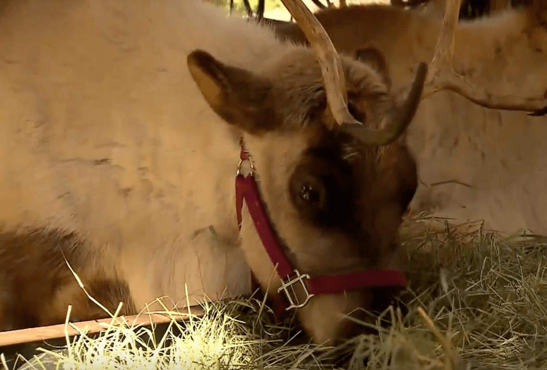Reindeer disney