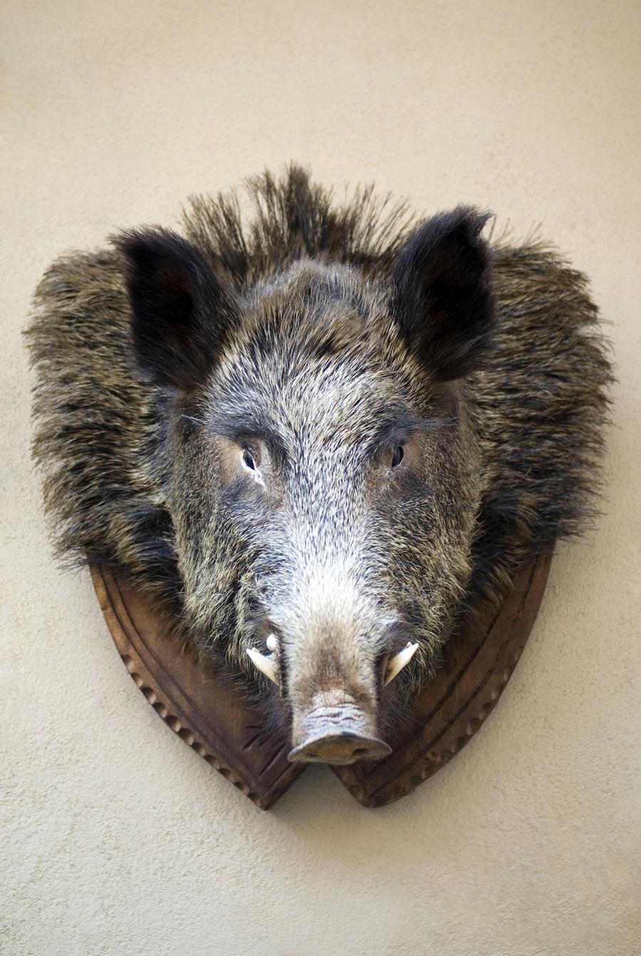 Mounted stuffed wild boar's head