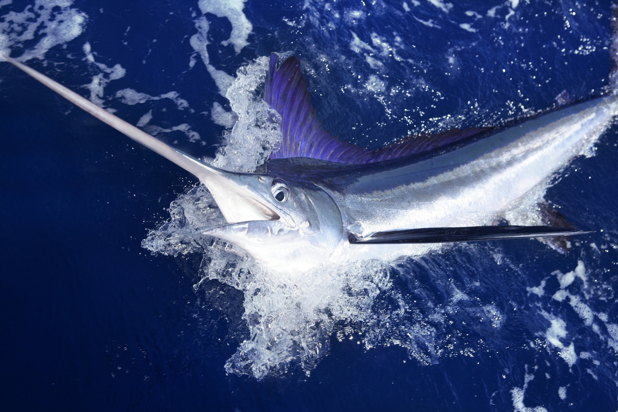 White marlin jumping out of the water