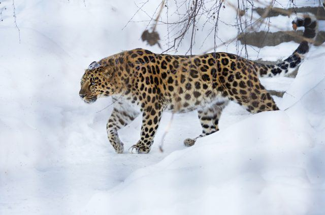 The Amur leopard is a unique species which is under threat of extinction