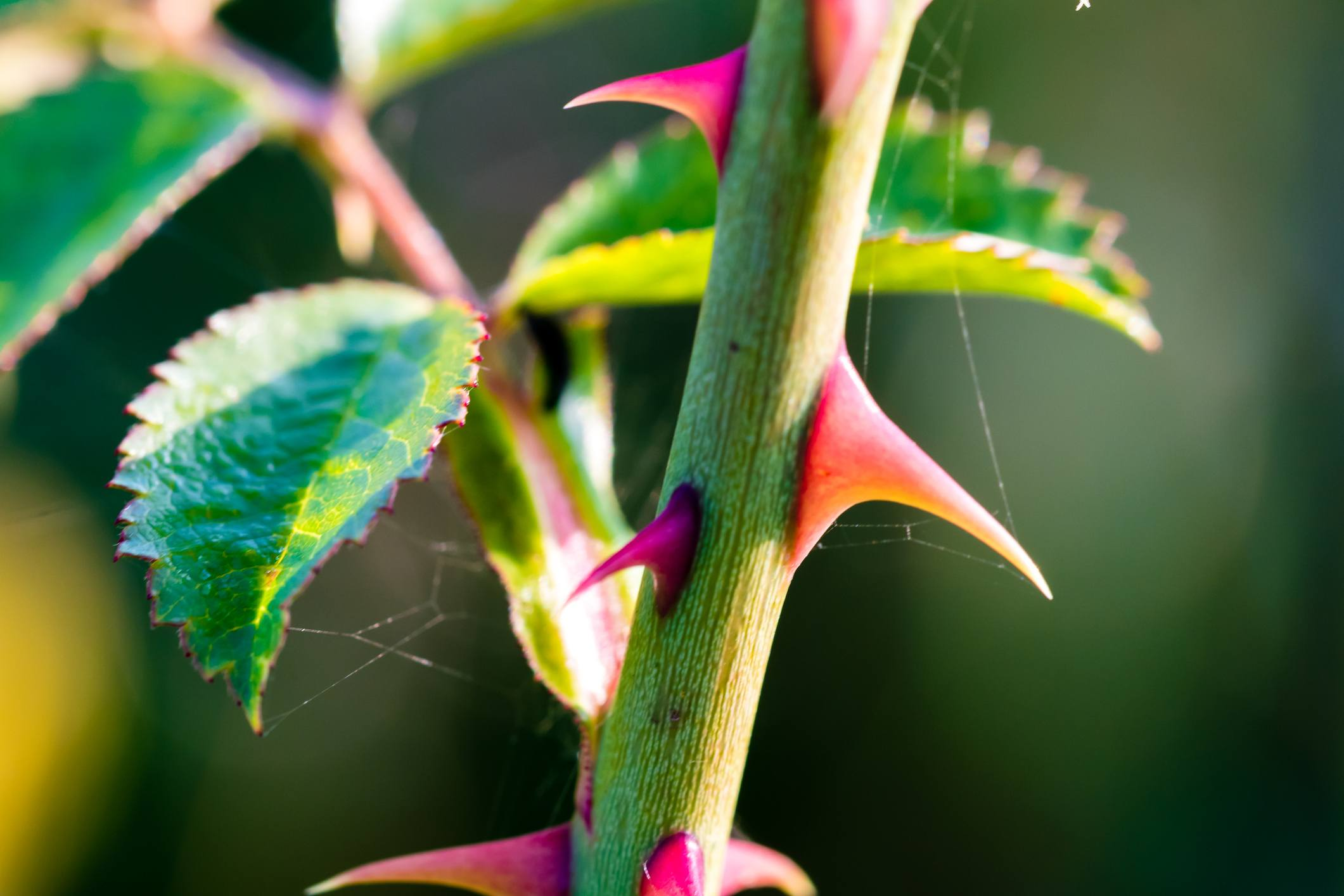 Sharp thorns of a wild rose, close-up shot