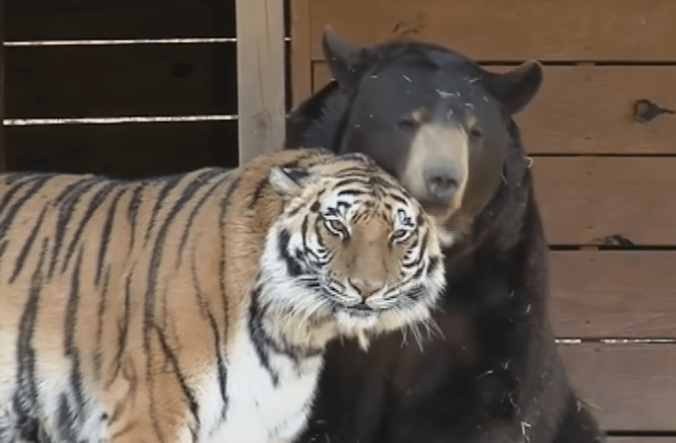 Tiger and bear