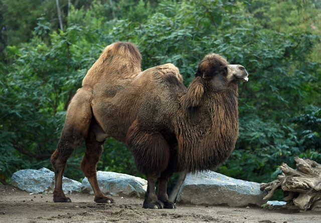 A Domestic Bactrian Camel eats inside its enclosure at the San Diego Zoo