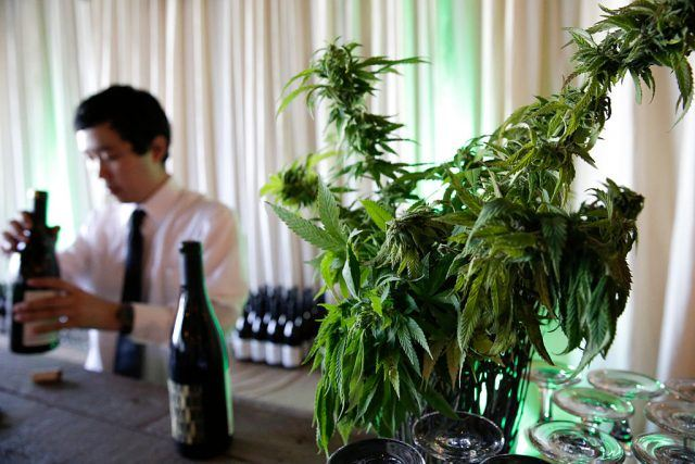 A marijuana plant is pictured as a bartender opens wine at a cannabis food event