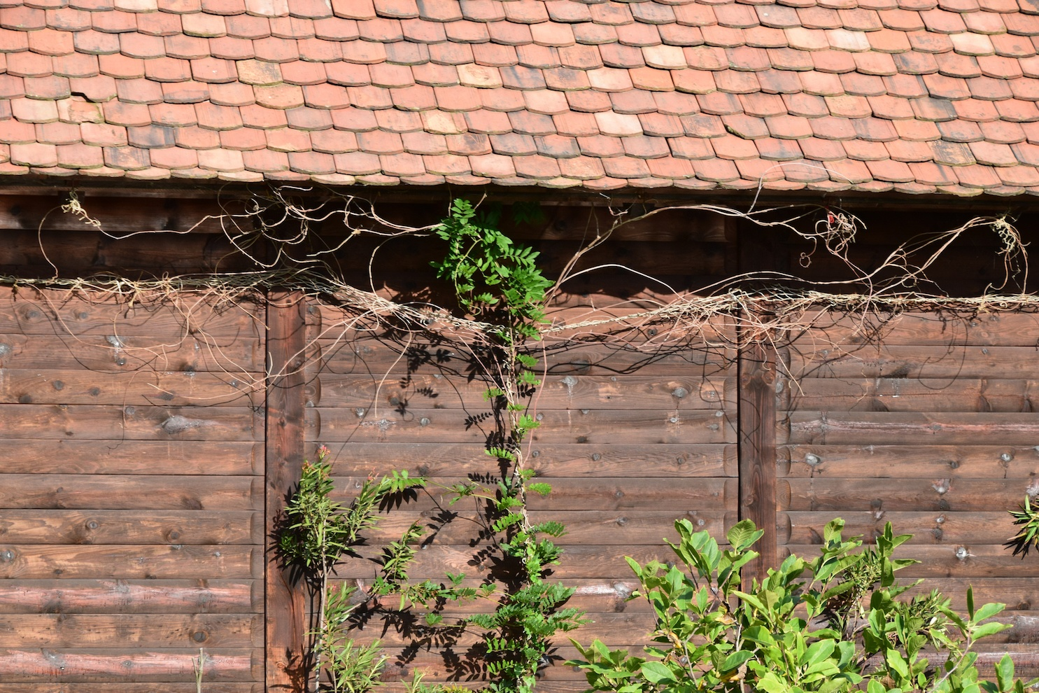 Brown wooden fence with a vine growing over