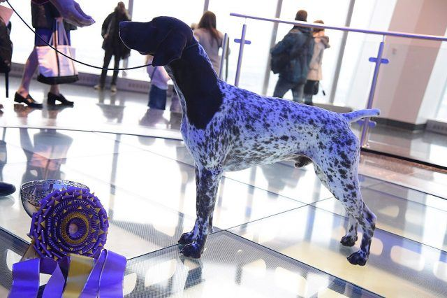 German Shorthaired Pointer and winner of the 2016 Westminster Kennel Club Winner