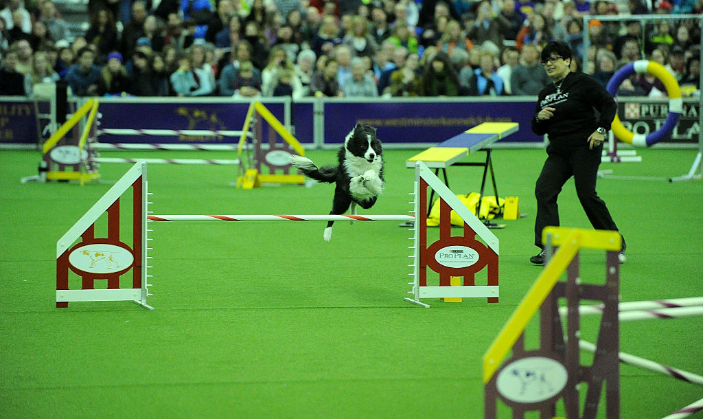 A border collie competes on the agility course.