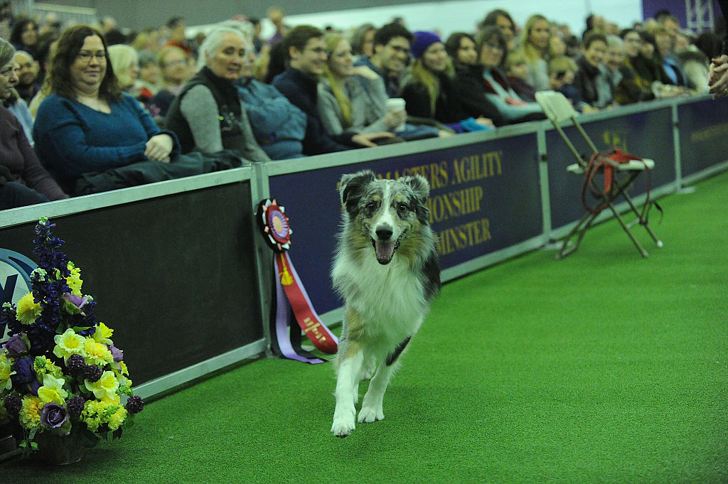A dog competes in the agility course during the 7th Annual AKC Meet The Breeds