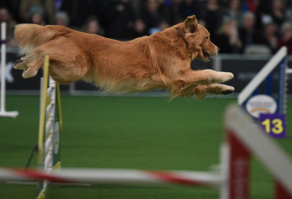 A dog competes in the agility course during the 5th Annual Masters Agility Championship