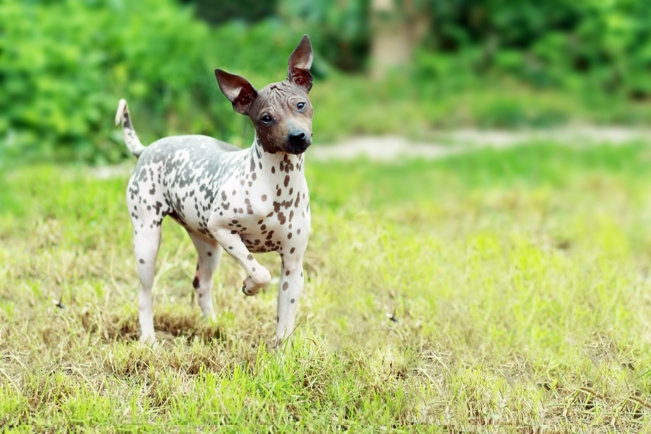 American Hairless Terrier on grass