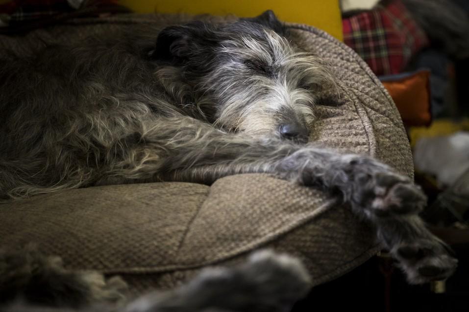 An Irish Wolfhound sleeps in the grooming area
