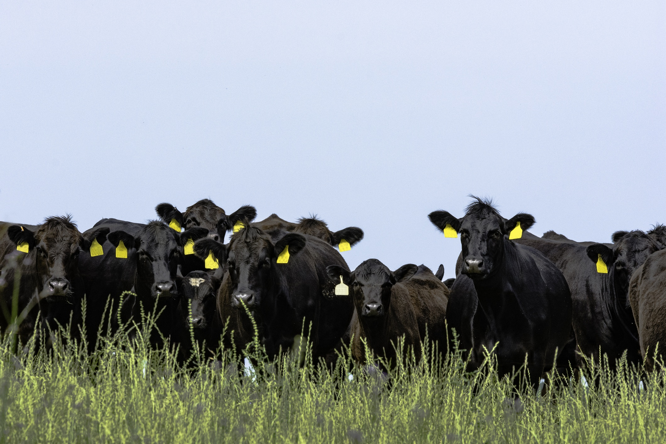 Line of Angus cattle