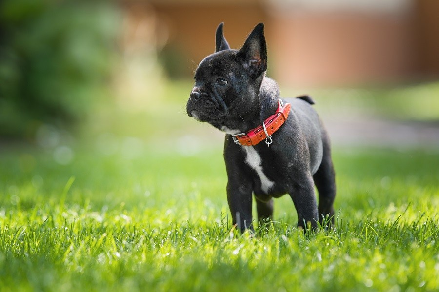 French bulldog puppy Black