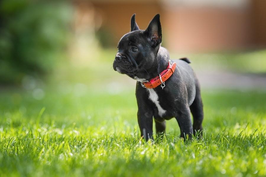 Black French bulldog puppy