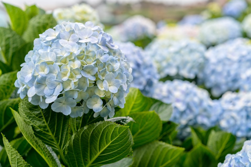 hydrangeas with hundreds of flowers blooming