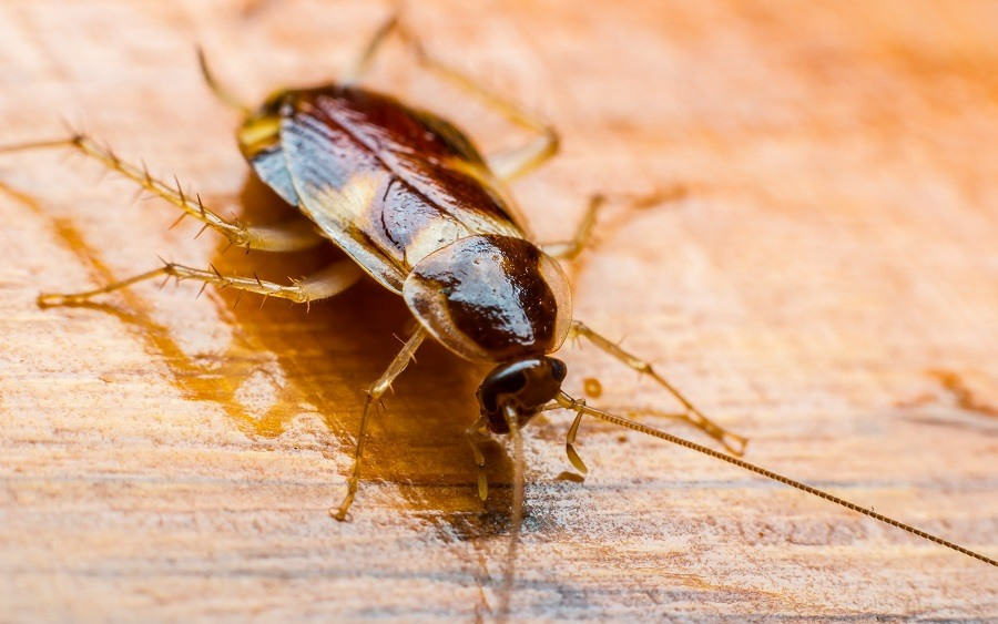 cockroach on the wooden floor