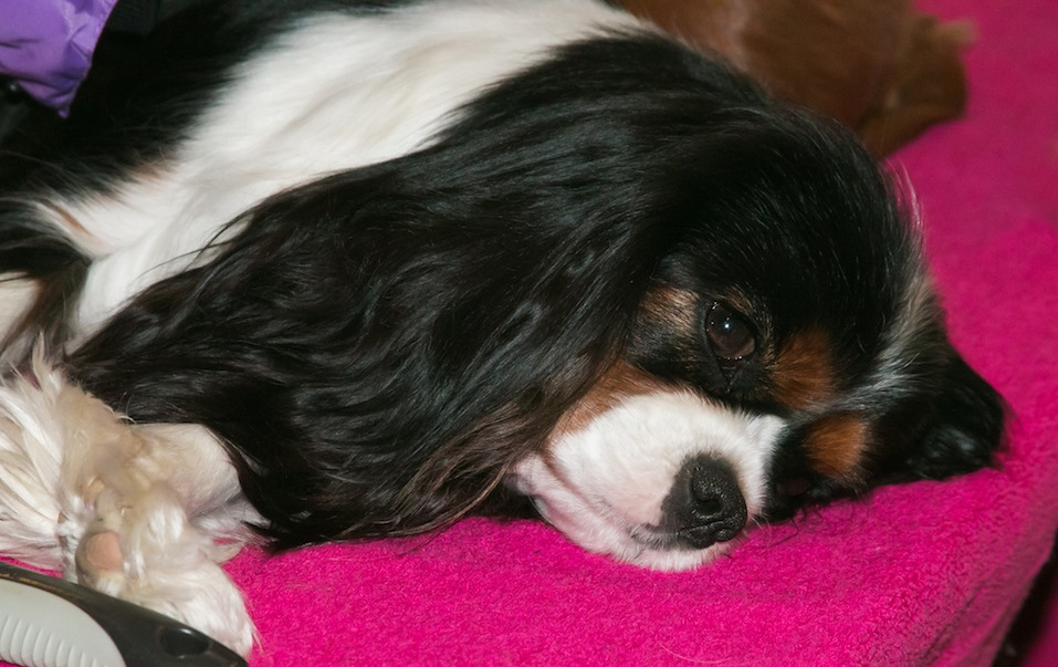 cute cavalier king charles spaniel dog
