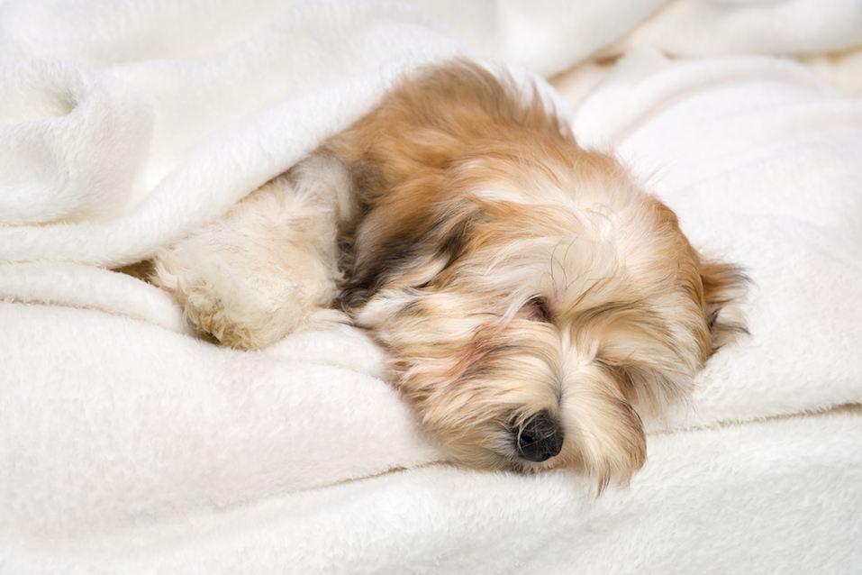 Cute sleeping Havanese puppy on white bedspread