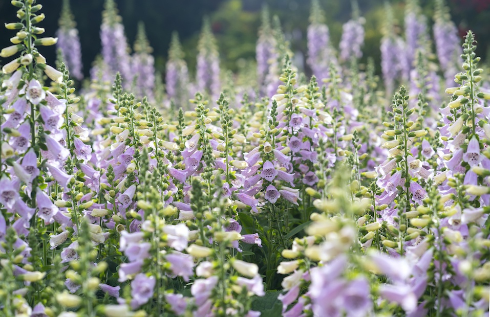 Digitalis or foxglove with mauve flowers with purple spots.