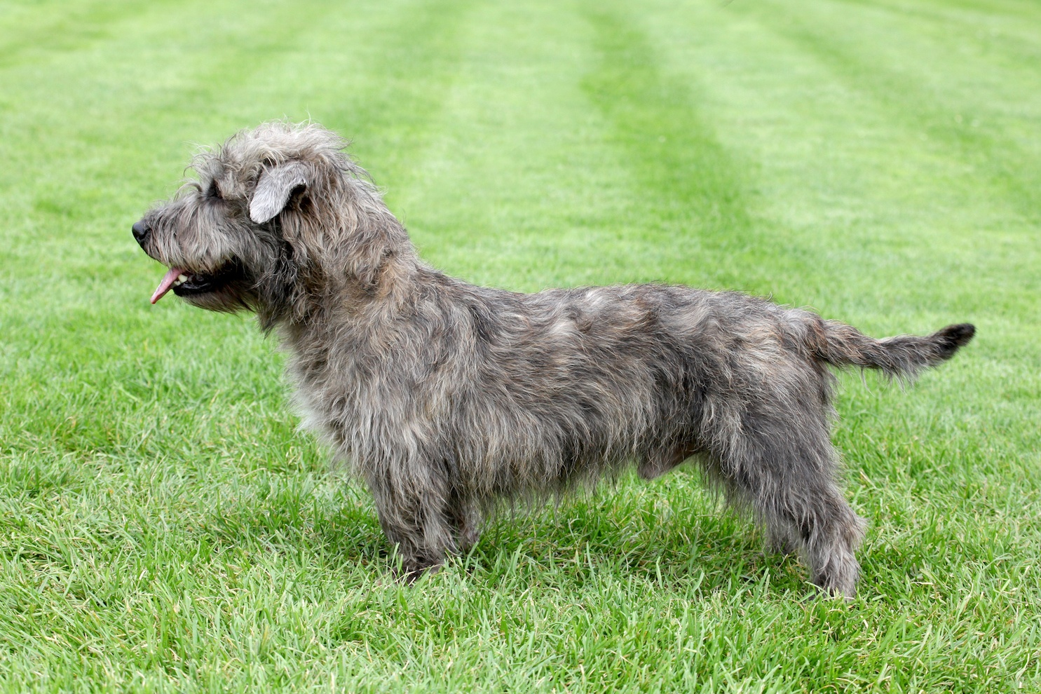 Typical Irish Glen of Imaal Terrier on the green grass