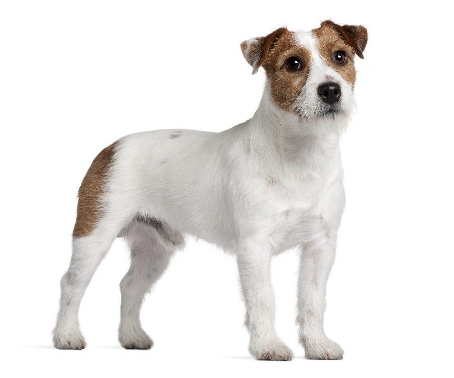 Jack-Russell-terrier