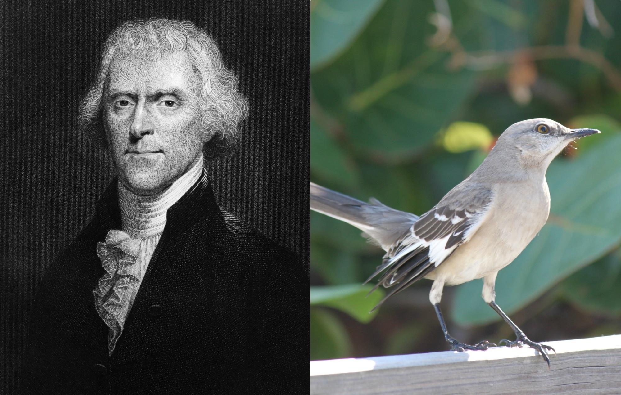 Thomas Jefferson mockingbird