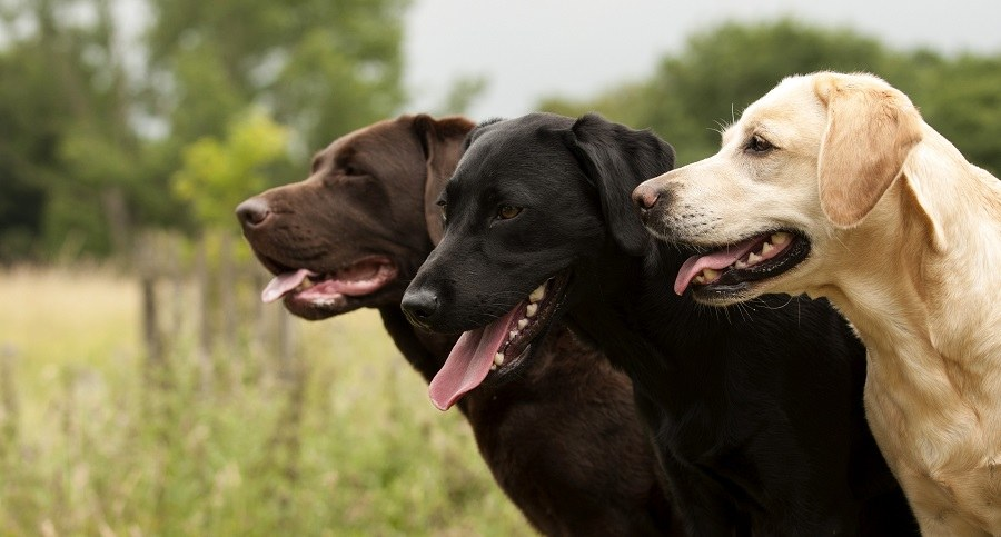 three colors of Labradors