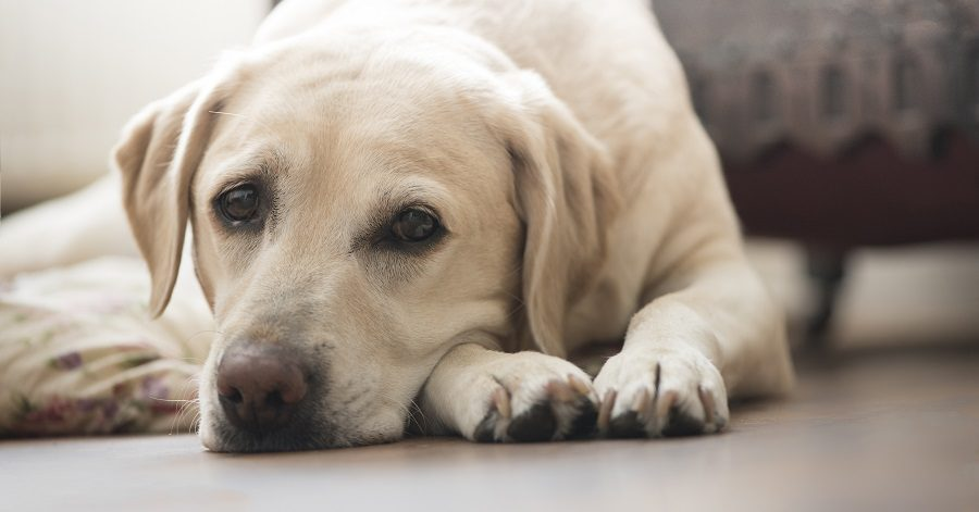 Best Dog Food For Labs >> Revealed: The Most Popular Dog Breeds in New York, Los ...