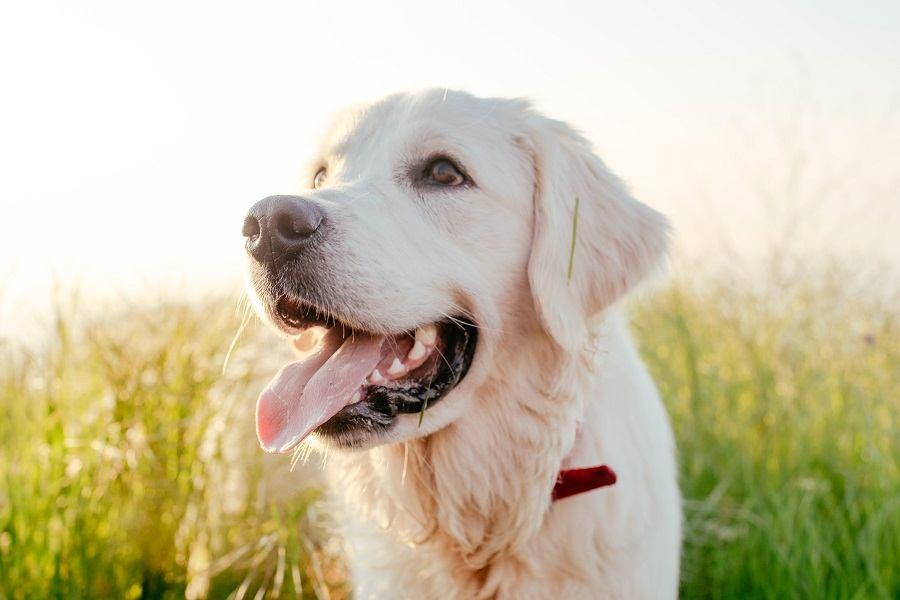 labrador retriever dog