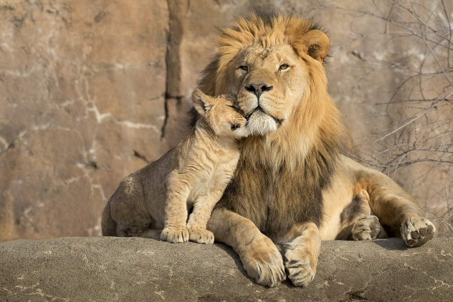 Lion with a cub